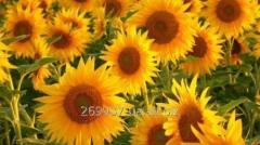 Гібрид насіння соняшнику  P63LE10