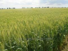 Пшеница озимая мягкая Асканийская