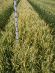 Пшеница озимая Щедрость Одесская