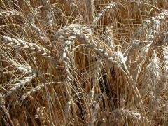 Пшеница озимая мягкая Лазурная