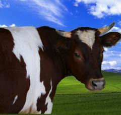 Комбикорма для крупного рогатого скота