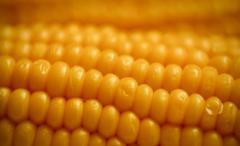 Гібрид кукурудзи П8659 ФАО 290