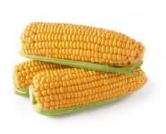 Гібрид кукурудзи П0216 ФАО 480