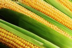 Гібрид кукурудзи лг 2195