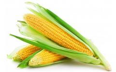 Гібрид кукурудзи Аалвіто Фао – 210