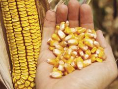 Гібрид кукурудзи лг 3258 Фао - 250