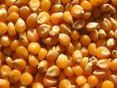 Гібрид кукурудзи лг 3330 Фао – 340
