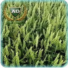 Пшеница озимая Балатон