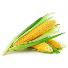 Гібрид кукурудзи лг 30273 Фао – 260