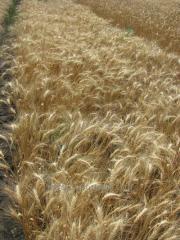 Пшеница озимая мягкая Благо Супер Элита