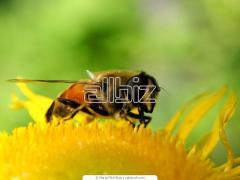 Пчелы в пакетах,  пчелопакеты