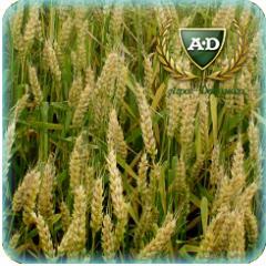 Пшеница озимая Богемия