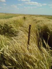 Пшеница озимая Бория