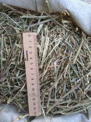 Chicory Grass (lat. Cichorium)