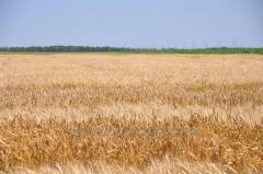 Пшеница озимая мягкая Жаворонок / Жайвір