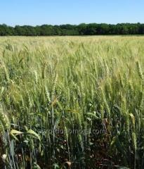 Пшеница озимая Наснага