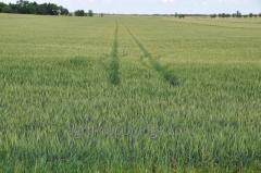Пшениця озима Хист