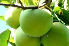 Apple-tree saplings