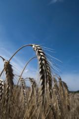 Жито озиме Хамарка