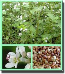 The buckwheat garden, a buckwheat, grain, bean and