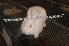 Племенные кролики породы Термонская