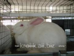 Kroleferma of girlfriend of elite breeds Termonsky