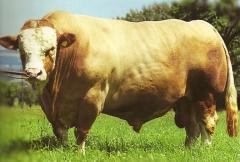 Sperm of bulls seksirovanny (divided on floor)