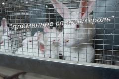 Кролики элитных мясных пород Калифорнийский,...