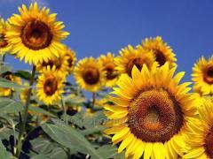 Семена подсолнечника Римисол (под ЕвроЛайтнинг)