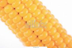 Seeds of sweet corn