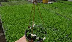 Рослини балконна й клумбовие