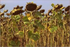 Семена подсолнечника, гибрид F1 Рембо