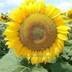 Семена подсолнечника ЛГ 5463 КЛ (LG 5463 CL)