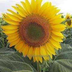 Семена подсолнечника ЛГ 59580 / LG 59580