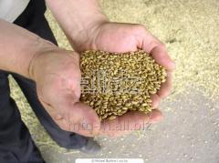 Seeds of super elite grades of winter wheat the