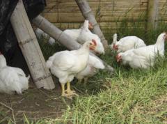 Комбикорм откорм цыплята яичных пород 9-17...