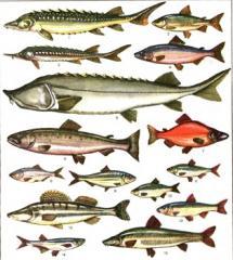 Комбикорм для промысловой рыбы, осетровые Старт СП