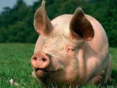 BMVD ShenPig Grove Golden Pig 15% (fattening pigs