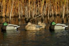 Чучела уток (спящие) Greenhead Gear® Life-Sized Mallard Sleepers