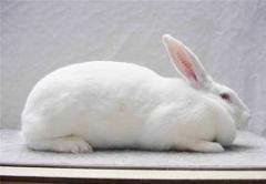 Кроли породы Термонская белая