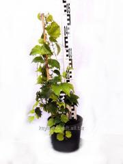 Девичий виноград триостренный 'Veitchii' (Parthenocissus tricuspidata) в контейнере C2