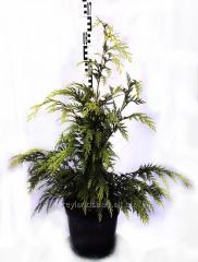 Кипарисовик Лавсона 'Sunkist' (Chamaecyparis lawsoniana) в контейнере C5