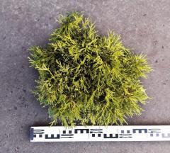 Кипарисовик горохоплодный 'Filifera Aurea Nana' (Chamaecyparis pisifera) в контейнере C3
