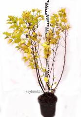 Пузыреплодник калинолистный 'Dart's Gold' (Physocarpus opulifolius) в контейнере C3