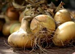 Onion - trade deliveries