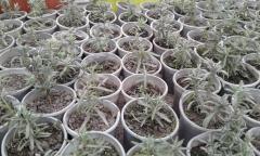 Саженцы многолетних растений