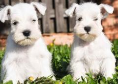 Tsvergshnautser puppies of a white color. Nursery