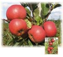 Сажанцы яблонь Ред Топаз®
