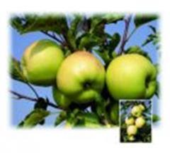 Саженцы яблони Луна®