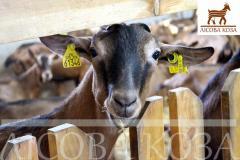 Племенной молодняк коз альпийской породы